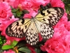 Rice paper butterfly (Idea leucone)