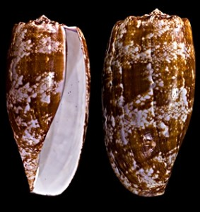 Conus geographicus, cone snail shell